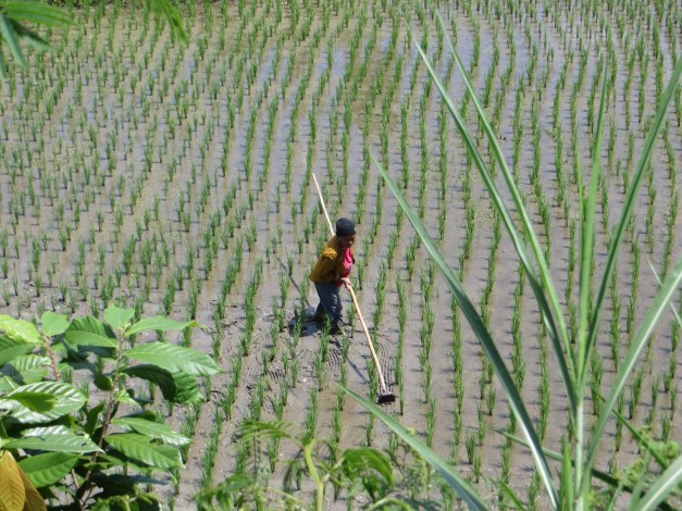 "Lest you wonder if the rice fields were just photo ops, they were real. Here a woman is ""cleaning"" the young rice field"