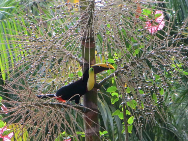 Toucans come and go quite a bit around here. At one point we heard lots of screaming and commotion, which turned out to be caused by a monkey capturing one and ripping it up. The cycle of life here is fascinating but can get pretty ugly.