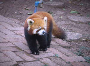 The adorable red panda. We saw a bunch up in the trees but never got a good picture of them up there.