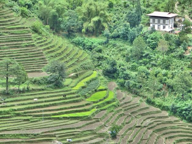 Punakha's terraced rice fields