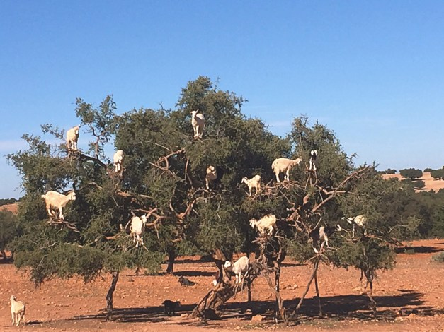 Yup, tree goats on the road to Essaouira. Apparently they're legit; we thought maybe people put them up there to fool the tourists but these goats climb the trees to get the fruit. One of the strangest things I've ever seen in my life.