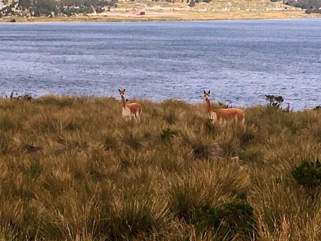 More vicuñas