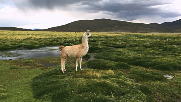 We saw a lot of llamas while traveling through Bolivia. Heck, we even learned how to tell the difference between an llama and an alpaca!