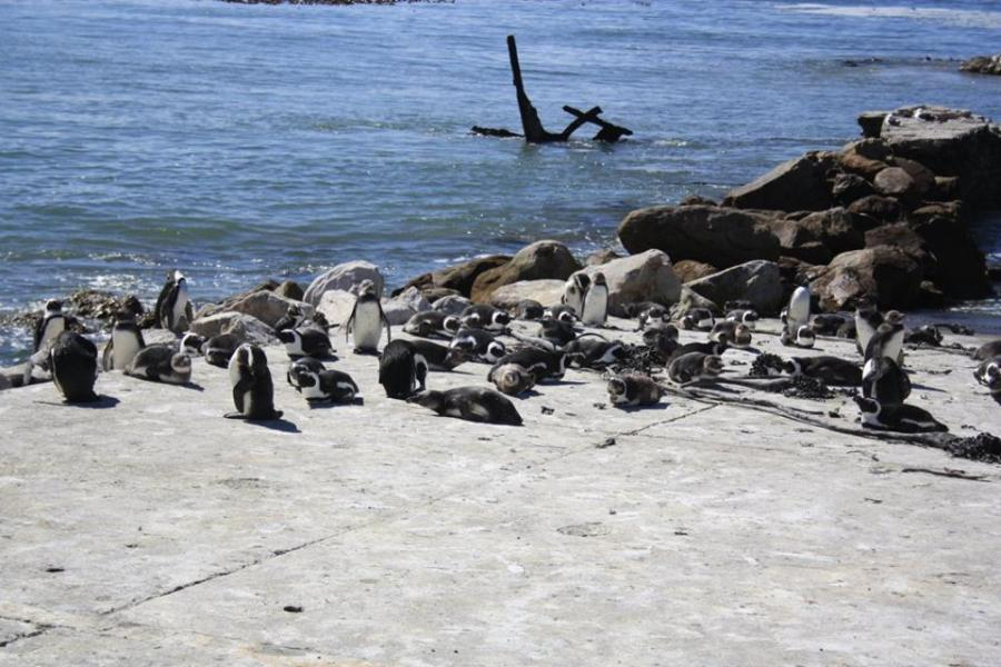 Penguins at Boulders Beach on the Cape Peninsula