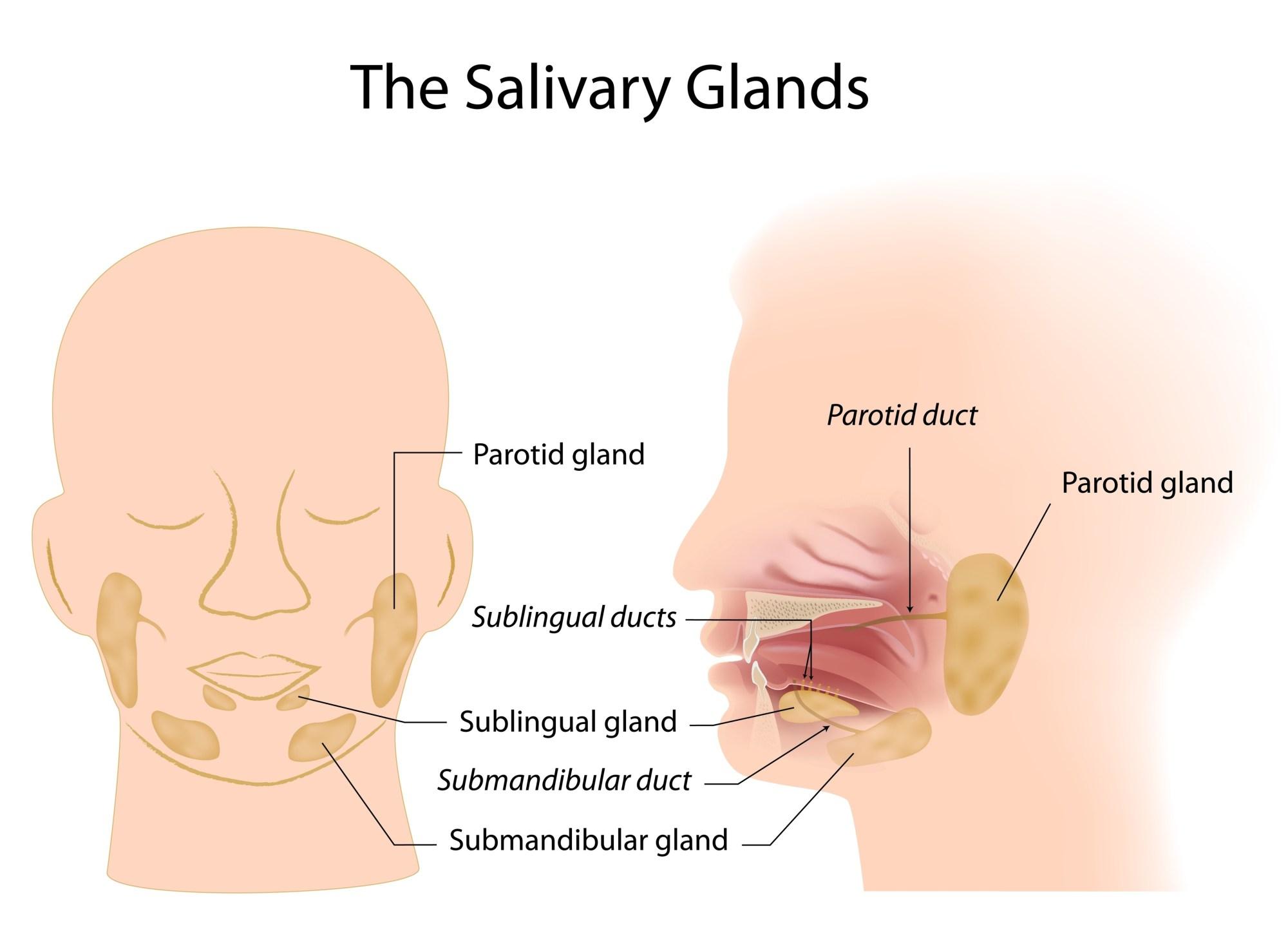 hight resolution of salivary gland chart