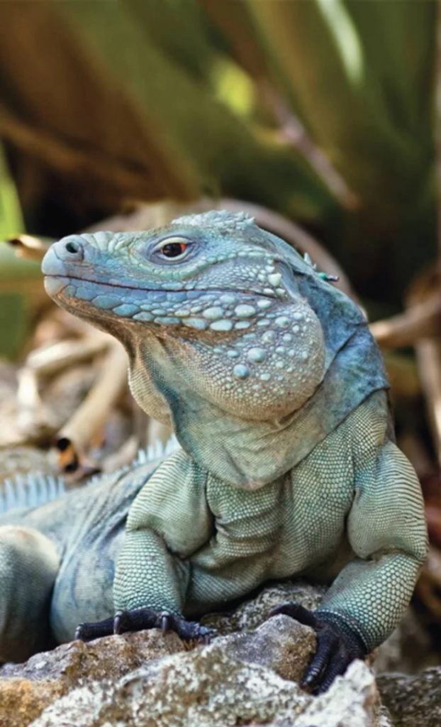Green Iguana. Blue Iguana   MarkD60's Third Time