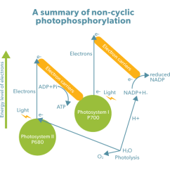 Photosynthesis Z Scheme Diagram Iec 60617 Graphical Symbols For Diagrams Biology Simplified Photophosphorylation This Is Called Due To Zig Zag Journey Of Electrons Through The Series Electron Carriers Release Molecular Oxygen Into Atmosphere