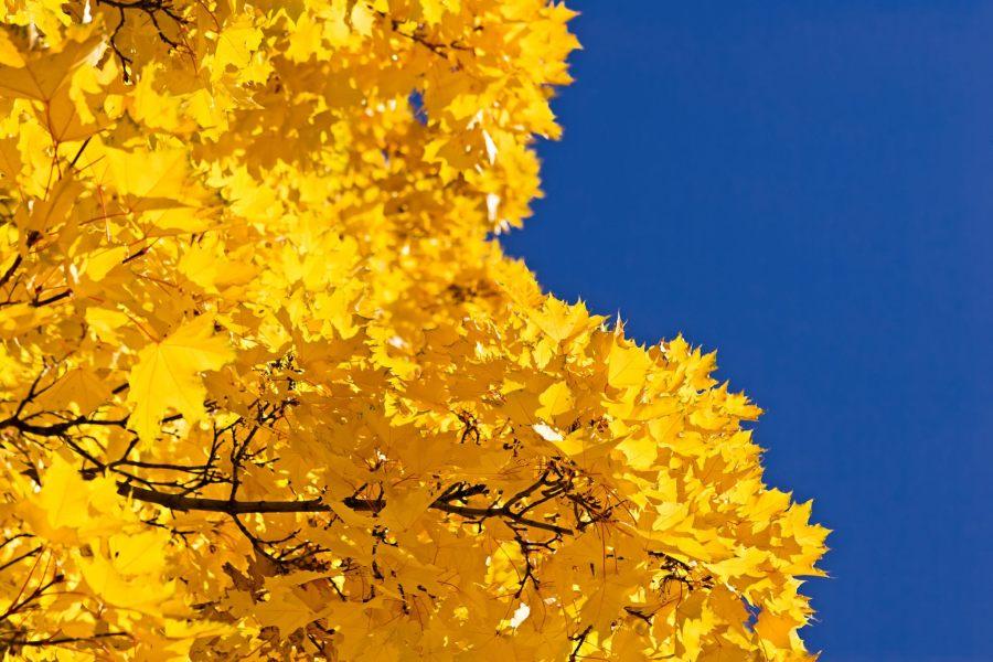 Mark Epstein Photo   Golden Leaves