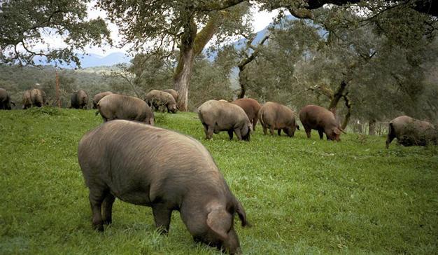 El mayor proveedor de carne de Mercadona defiende las granjas intensivas criticando las dehesas