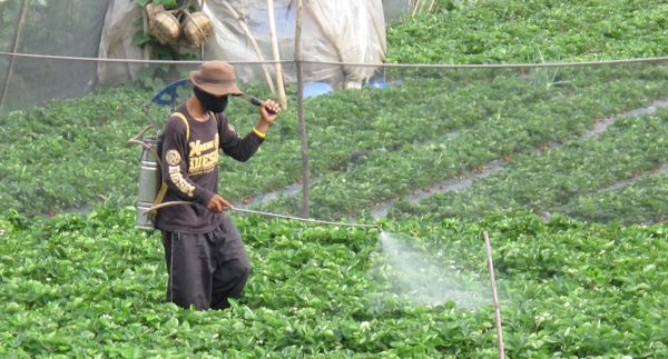 Market Manila  Insecticides on The Strawberry Fields of