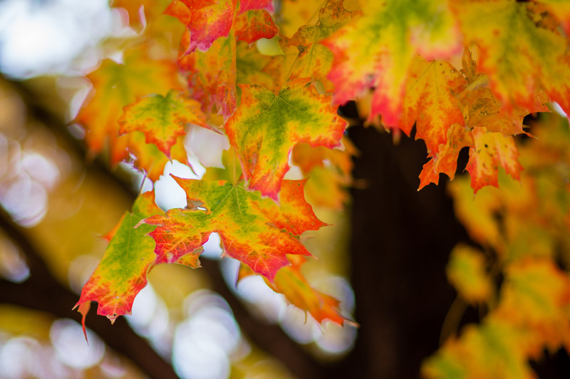 Autumn Leaves, Fall Color, Changing Leaves, Green Yellow Orange Leaves