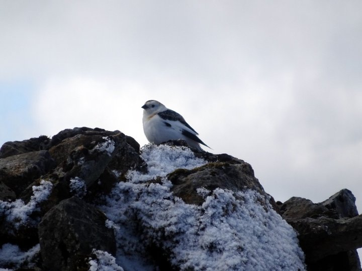 Snow bunting on the summit of Ben Nevis