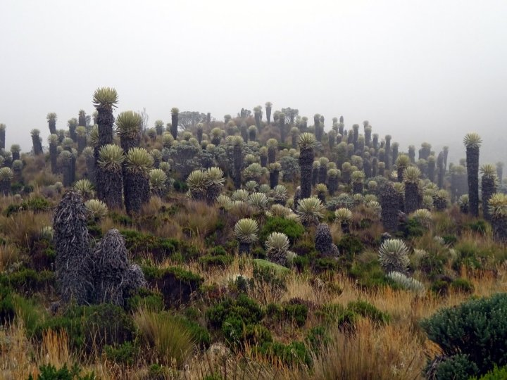 Forest of frailejones in the Colombian páramo
