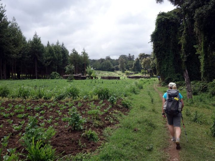 The Rongai Route starts among cultivated farmland and conifer plantations
