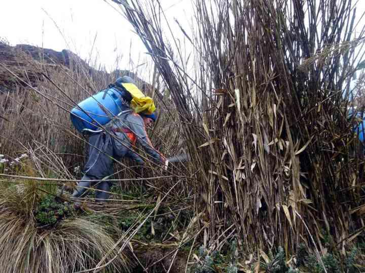 Cutting a route through arrow grass with a machete