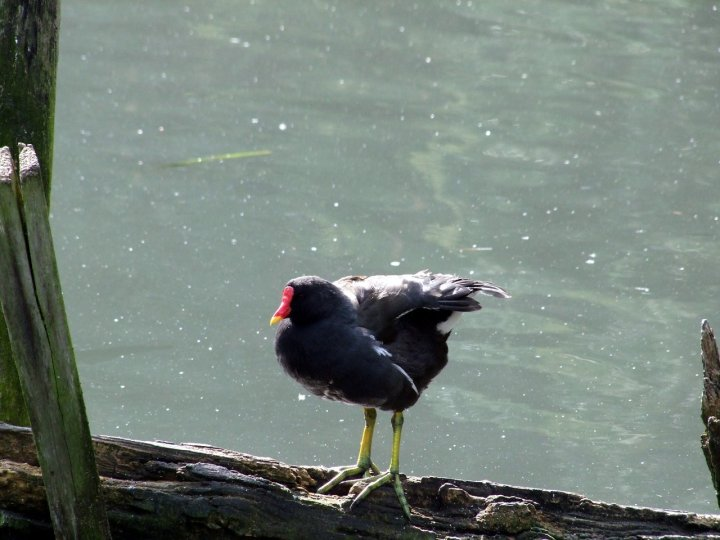 A moorhen perches on a log at the London Wetlands Centre