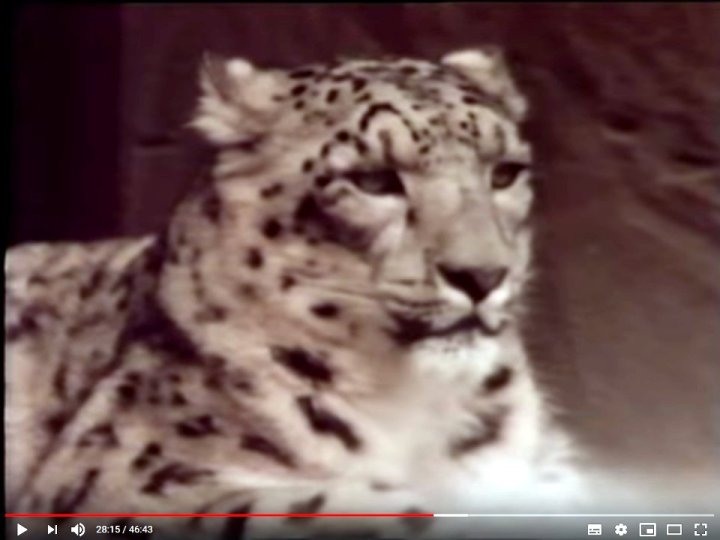 Snow leopards are now a protected species in the Annapurna region