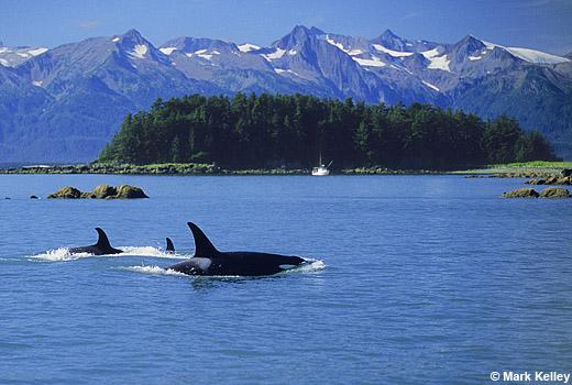 Killer Whales Lynn Canal Alaska  Image 2539Mark Kelley  Mark Kelley