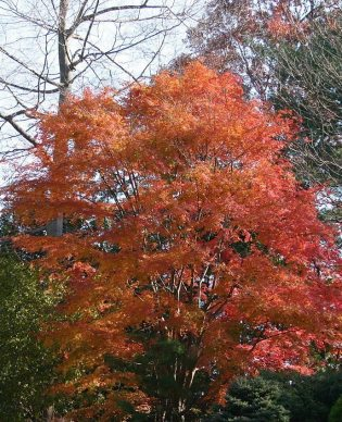 Acer palmatum fall colour by SB_Johnny