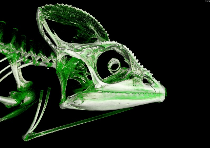 The skull of Furcifer oustaleti with cartilage and poorly ossified bone rendered in green.