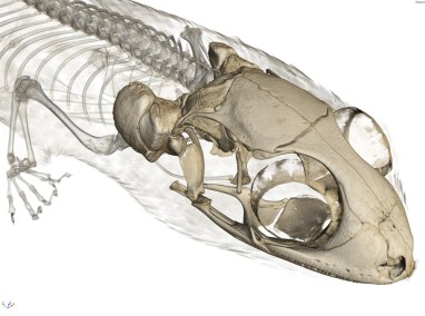 The skull of Geckolepis humbloti with scales and other bones rendered semi-transparent