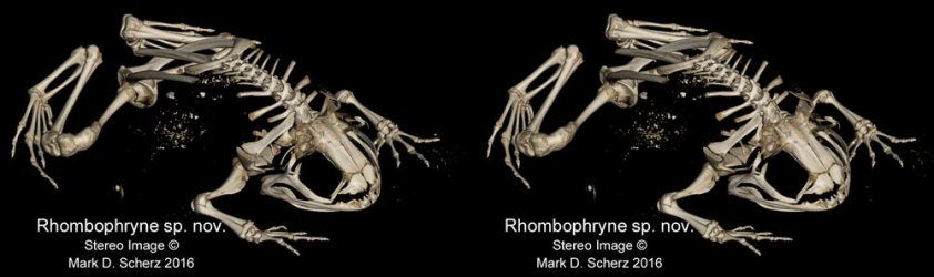 The skeleton of a new species of Rhombophryne in stereoscopic 3D