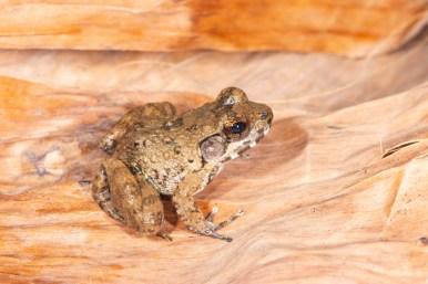 Mantidactylus ulcerosus in Nosy Be