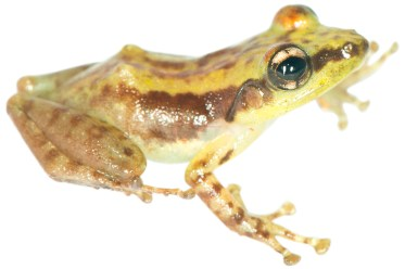 Guibemantis woosteri, a new species from Marojejy in northern Madagascar