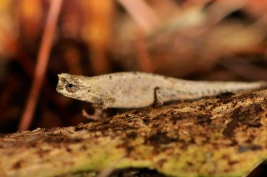 Brookesia cf. tuberculata is a species found in the leaflitter in restricted altitude zones on Montagne d'Ambre
