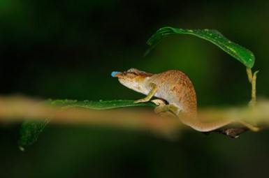 Calumma linotum male