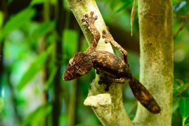 Uroplatus cf. giganteus