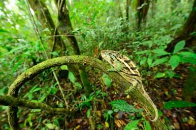 Calumma ambreense, adult male at ca. 1250 m