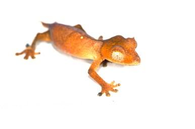 Uroplatus sp. Ca1