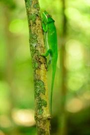 Furcifer timoni, adult male
