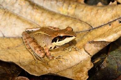 Gephyromantis (Duboimantis) sp. nov.