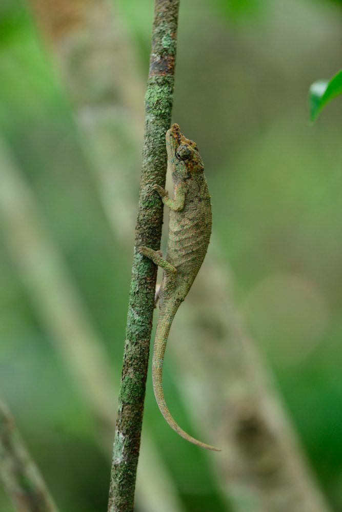 Calumma ratnasariae female in Ampotsidy