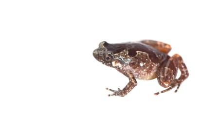 Stumpffiacf. pardus, one of the new species described