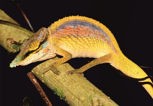 Calumma uetzi, adult male. Photo by Frank Glaw.