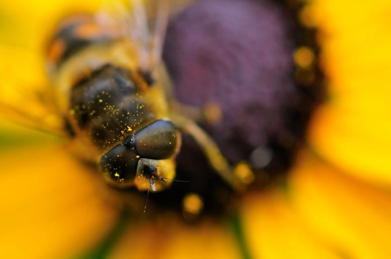 Hoverfly on black eye 1