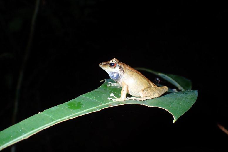 Gephyromantis (Duboimantis) cf. granulatus