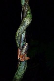 Gephyromantis ambohitra
