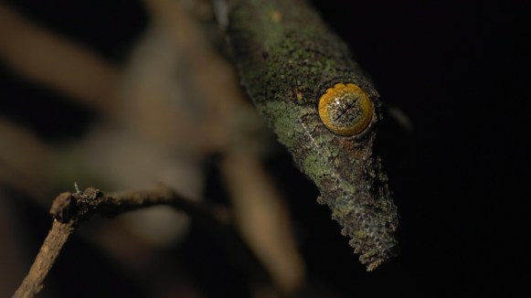 Uroplatus sikorae, one of the more elusive species in the forest; we found only two specimens. Photo by Duncan Parker.