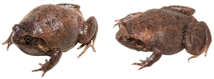 The two type specimens of Rhombophryne nilevina. Photos by Carl Hutter.