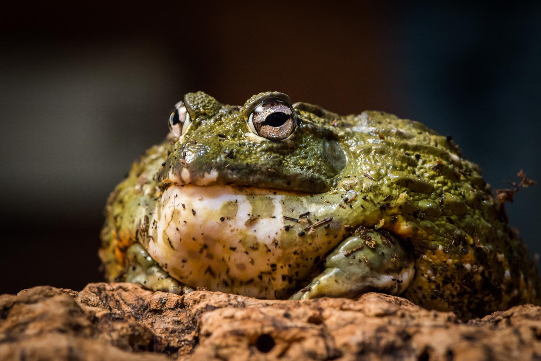 bullfrog  Photography by Mark Seton