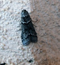haleakala flightless moth final