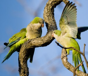 Three Monk Parakeets perched and interacting in a tangle of branches (Buenos Aires); markshepherdjournal.com