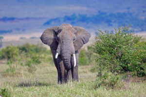 In October of 2016, in what was considered a surprising move, the United States, the European Union and several African nations voted against an all-out ban of the elephant ivory trade; markshepherdjournal.com