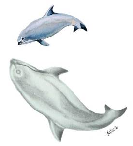 Vaquita (Phocoena sinus), a small porpoise endemic to the northern Gulf of Mexico. Illustration by Justin Shepherd