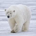 Polar Bear in Alaska