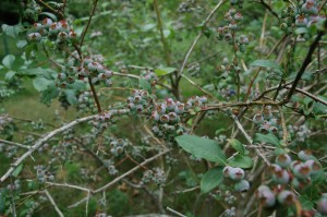 a picture of blueberries